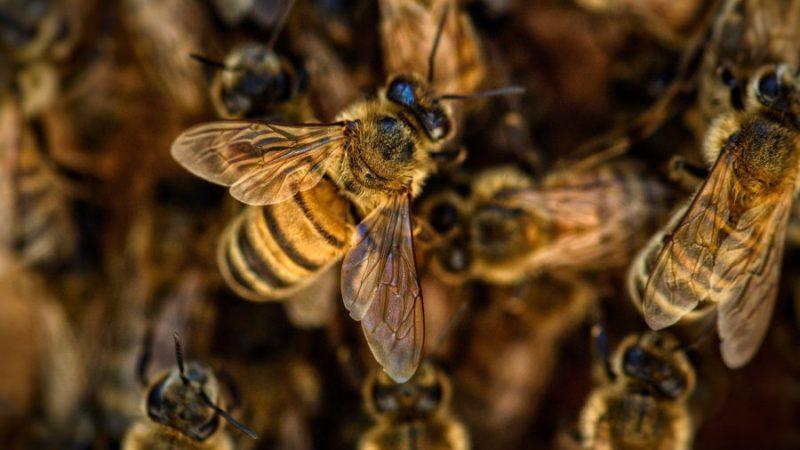 Les abeilles, la ruche et le miel
